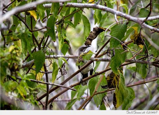 Ein Darwin-Fink tarnt sich in einem Baum